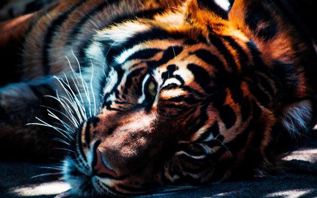 К каким событиям видеть во сне тигра