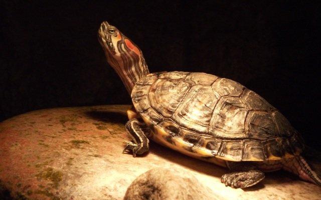 Видеть во сне огромную черепаху