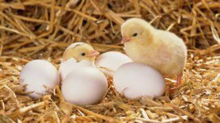 Изображения для статьи К чему снятся Цыплята