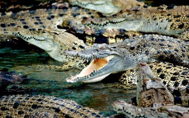 Видеть крокодила во сне