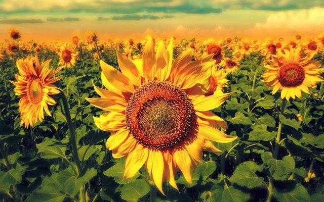 Видеть во сне подсолнухи, цветущие поле, семечки подсолнуха много