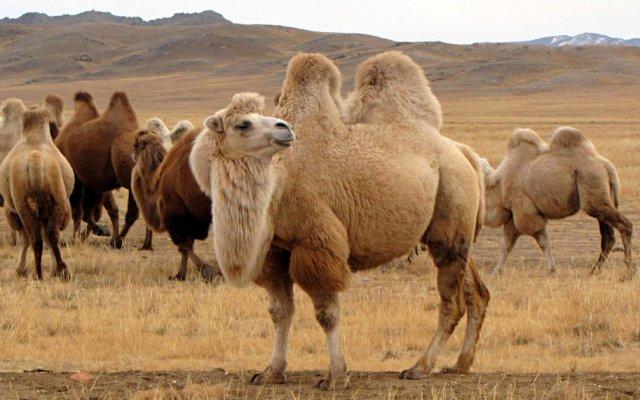 Видеть во сне верблюда что означит сон тракутовка популярных сонников