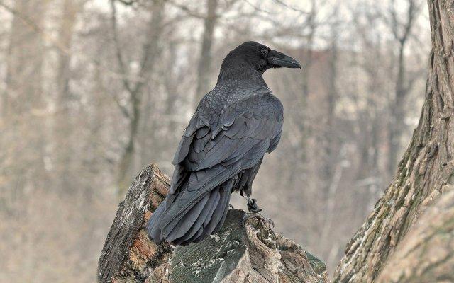 Видеть ворону во сне или черного ворона много ворон сонник Миллера