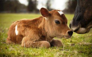 Изображения для статьи Видеть теленка во сне