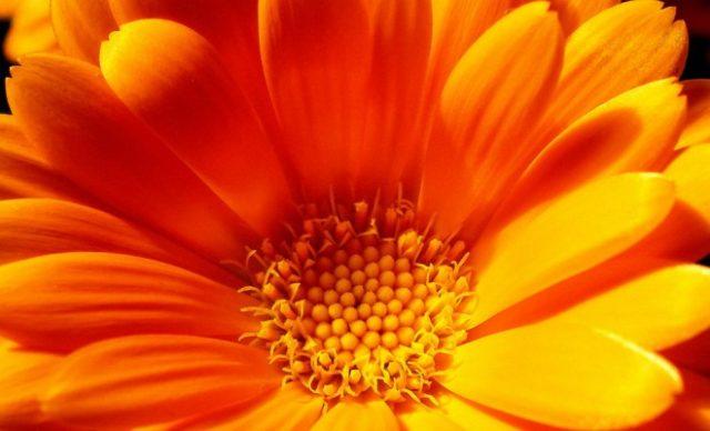 Изображения для статьи Сонник оранжевый